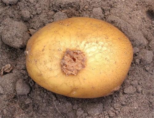 Streptomyces_scabies_cartof