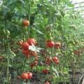 cultivarea-tomatelor-solar