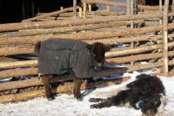 Gerul extrem a decimat efectivele de bovine din Mongolia