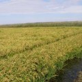 orez-cultura-cultivare-fundulea-incda
