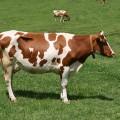 Vaca din rasa Simmental