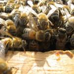 albine-cules-harghita-apicultura