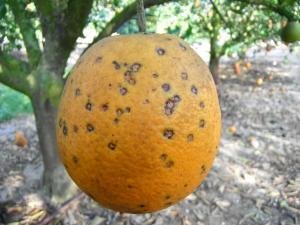 boala-petelor-negre-la-citrice-portocale