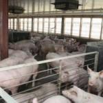 carne-de-porc