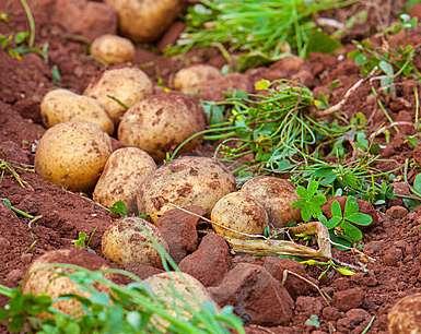 cartofi-cultura-cartofilor-suprafata-cultivata-cu-cartofi