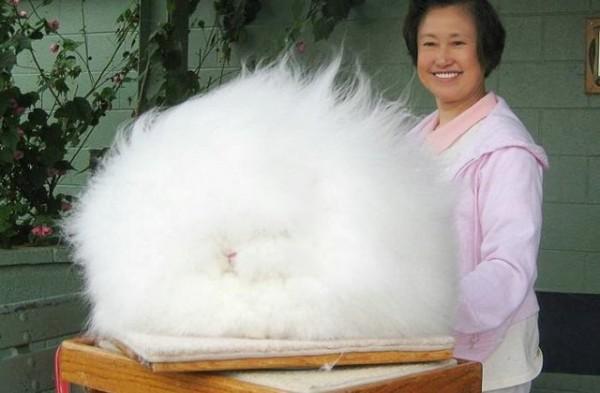 cel-mai-pufos-iepure-din-lume