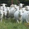 controale-apia-ovine-caprine-2013-subventii-subventie
