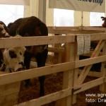 crescatori-de-bovine-2013
