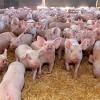 crescatori-porcine