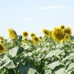 cultivare-floarea-soarelui-lucrarile-solului