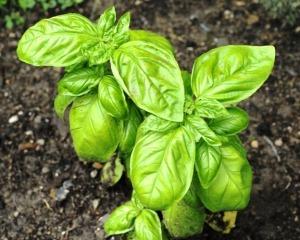 cultivare-plante-aromatice-busuioc
