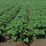 cultivarea-cartofului