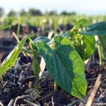 cultivarea-fasolei-semanatul-la-fasole