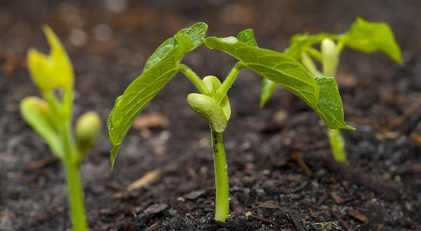 cultivarea-fasolei