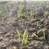 cultivarea-graului-cultura-hunedoara