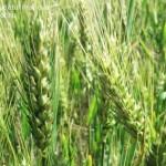 cultivarea-graului-prahova-agromonitor