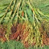 cultivarea-sorgului
