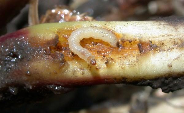 diabrotica-virgifera-viermele-vestic-al-radacinii-de-porumb-tratament