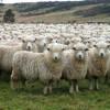export-ovine-turcia