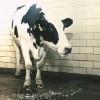 febra-aftoasa-la-bovine