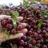 fructe-unguresti-export