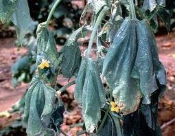 fusarium-castraveti-ofilire