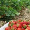 infiintare-plantatii-capsun-tehnologie-cultivare-capsun