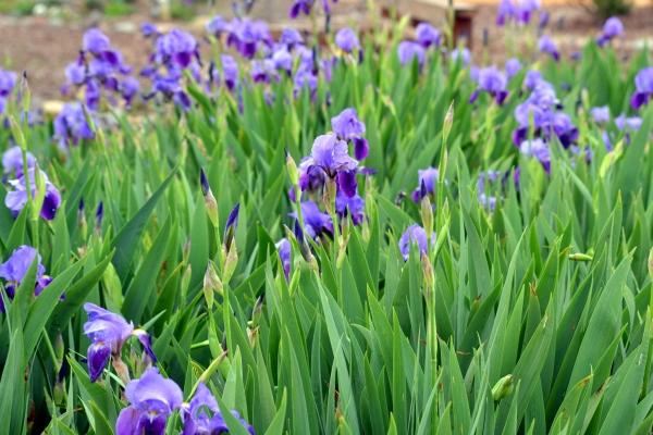 iris-stanjenel-cultivarea-irisului-in-gradina