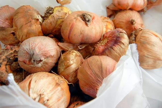 plantare-bulbi-gladiole