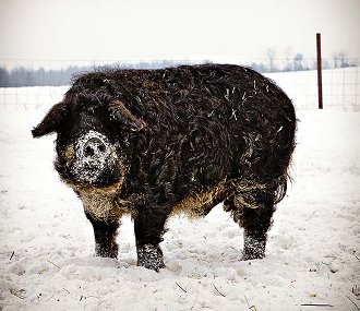 porc-din-rasa-mangalita