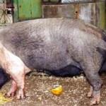 porc-rasa-bazna