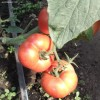 pret-tomate-poiana-mare-rosii-solar