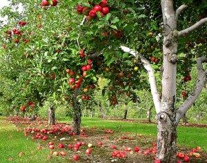 productie-pomi-fructiferi-2013-statistici-agromonitor