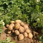 protectie-fitosanitara-protectia-plantelor-cartof-cartofi