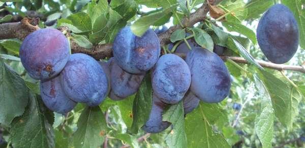 prune-din-leleasca