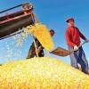recolta-cereale-china-suprafata-cultivata