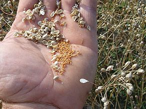 seminte-camelina-sativa-plante-energetice-culturi-energetice-subventii