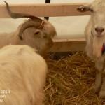 subventii-animale-2014-conditii-subventie