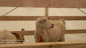 subventii-ovine-caprine-oi-2014-agromonitor