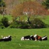 subventii-vaci-zone-defavorizate-bovine-subventie