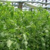 tomate-solar-solarii-spatii-protejate-legume