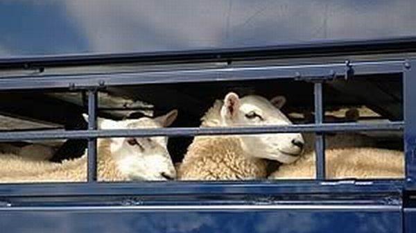 transport-ovine-controale-politie