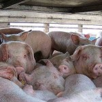 transport-porci-porcine-export
