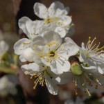 tratamente-prun-luna-aprilie-stropiri