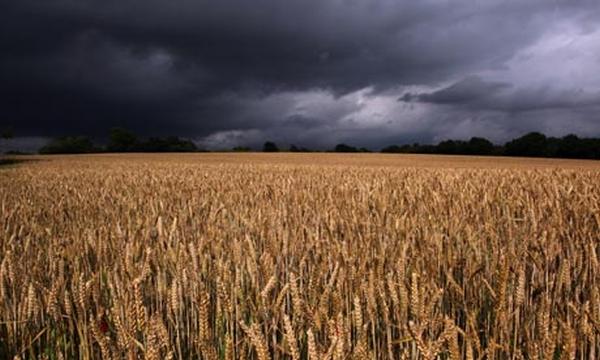 vaslui-recolta-grau-cereale-ploi-recolta-recoltare