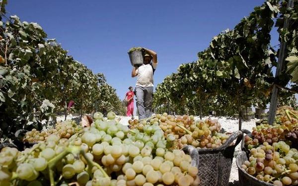 vrancea-impozit-viticultura-datorii-stat-viticultori
